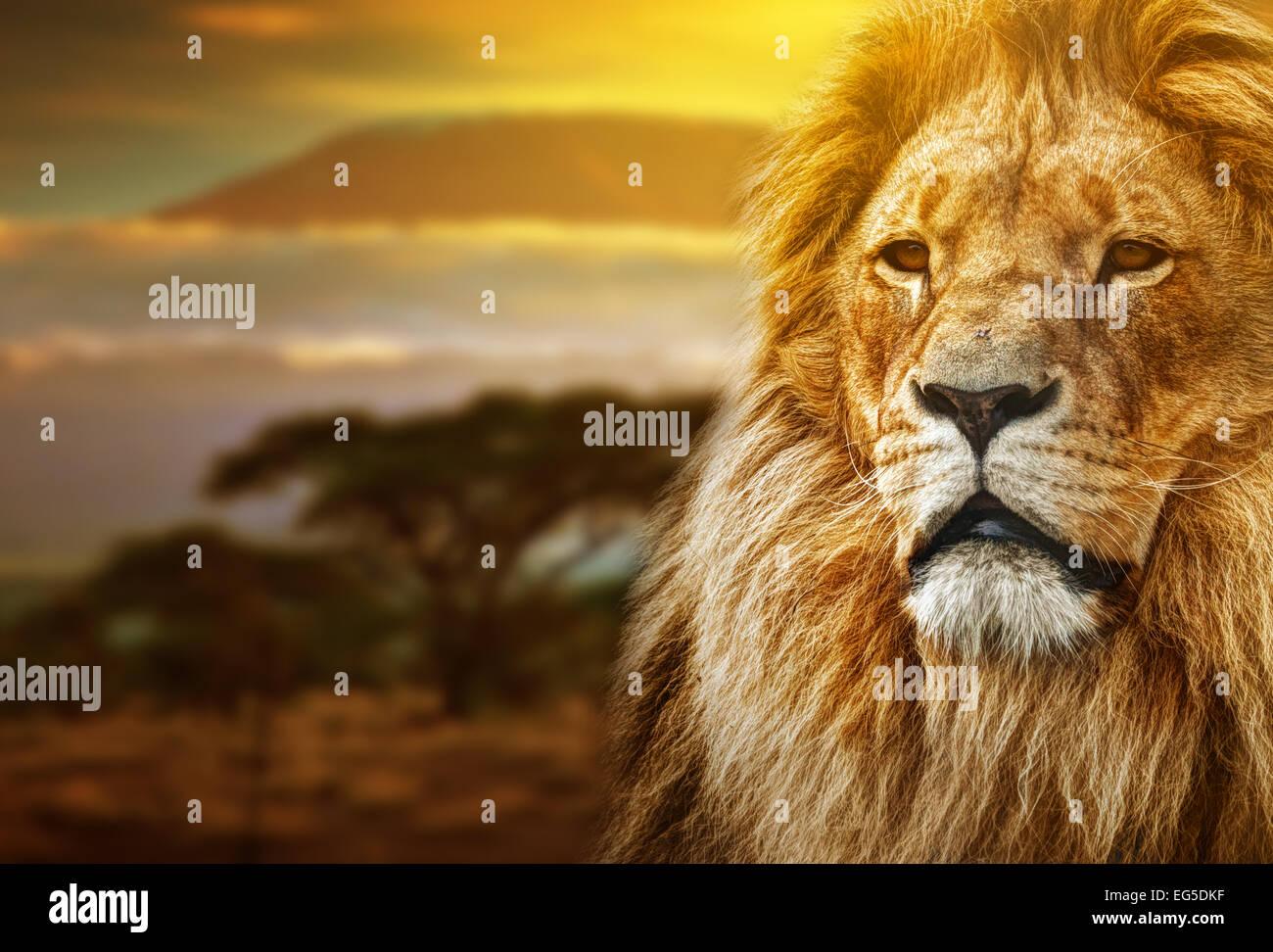 Lion portrait on savanna landscape background and Mount Kilimanjaro at sunset - Stock Image