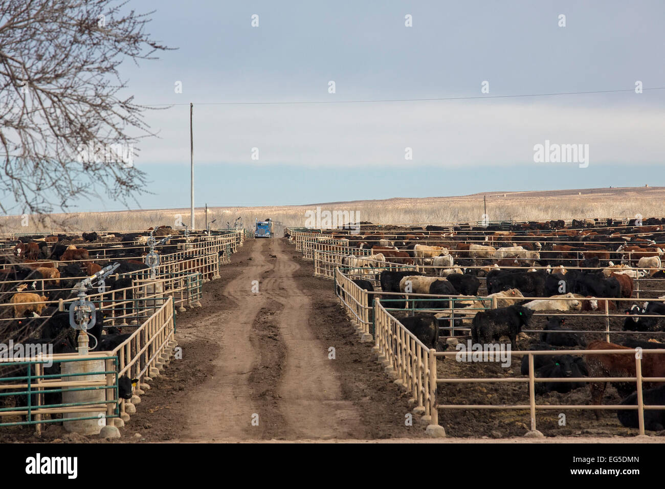 how to start a cattle feedlot