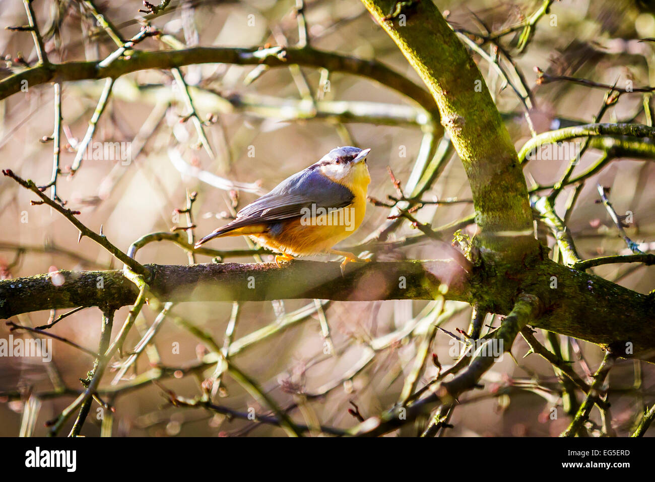 Nuthatch - British birds in trees in the West Midlands, England - Stock Image