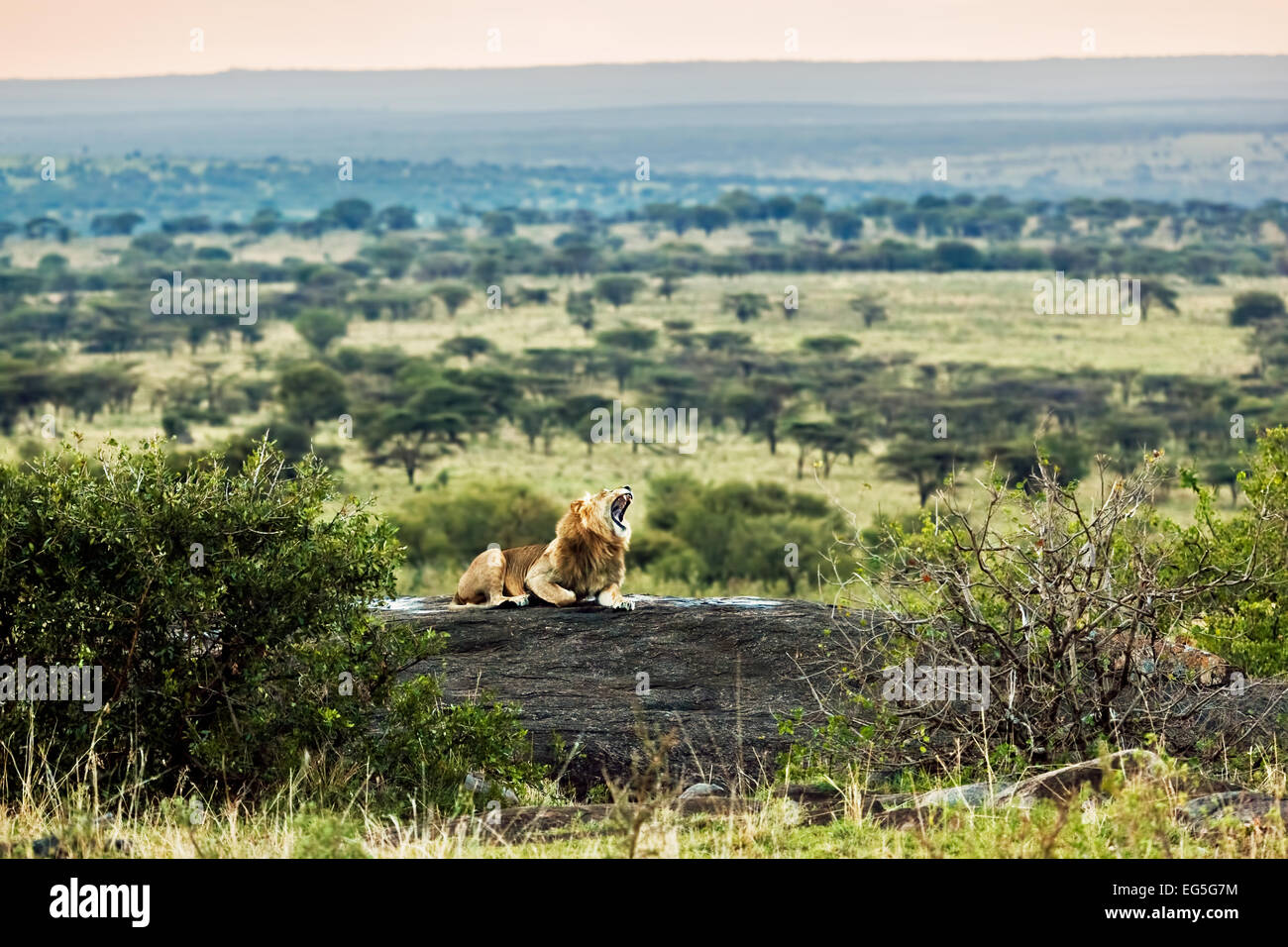 Lion lying on rocks and roars on savanna at sunset. Safari in Serengeti, Tanzania, Africa - Stock Image