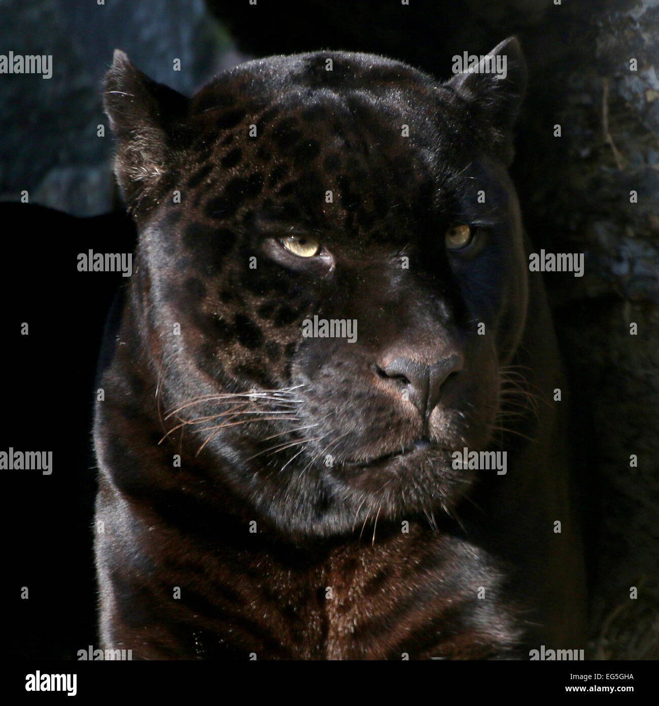 Portrait of a fearsome male South American  Black Jaguar (Panthera onca) - Stock Image