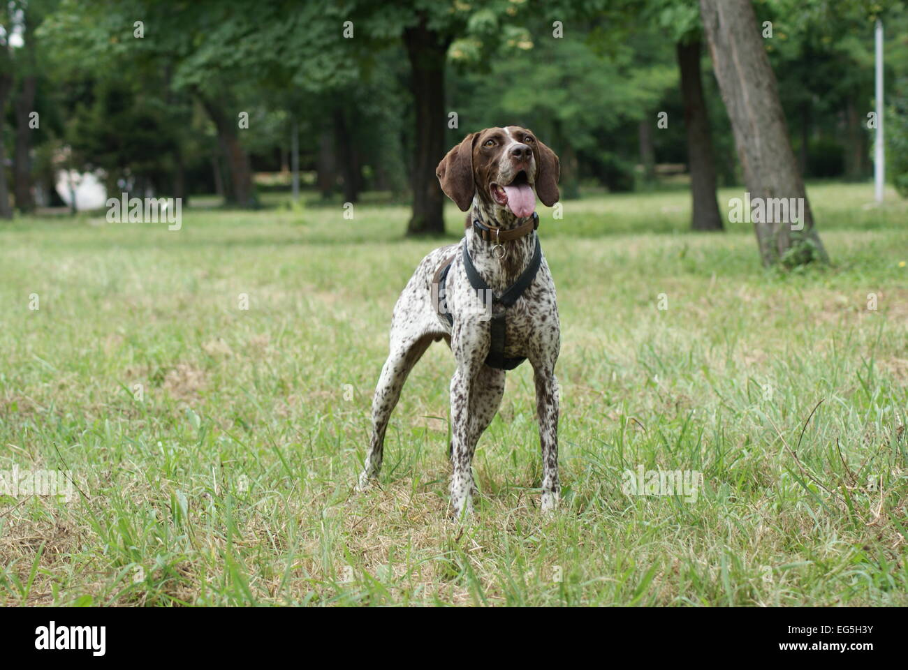 German Short Haired Pointer Dog Standing in a Field. Taken in Bulgaria on the Black Sea. - Stock Image