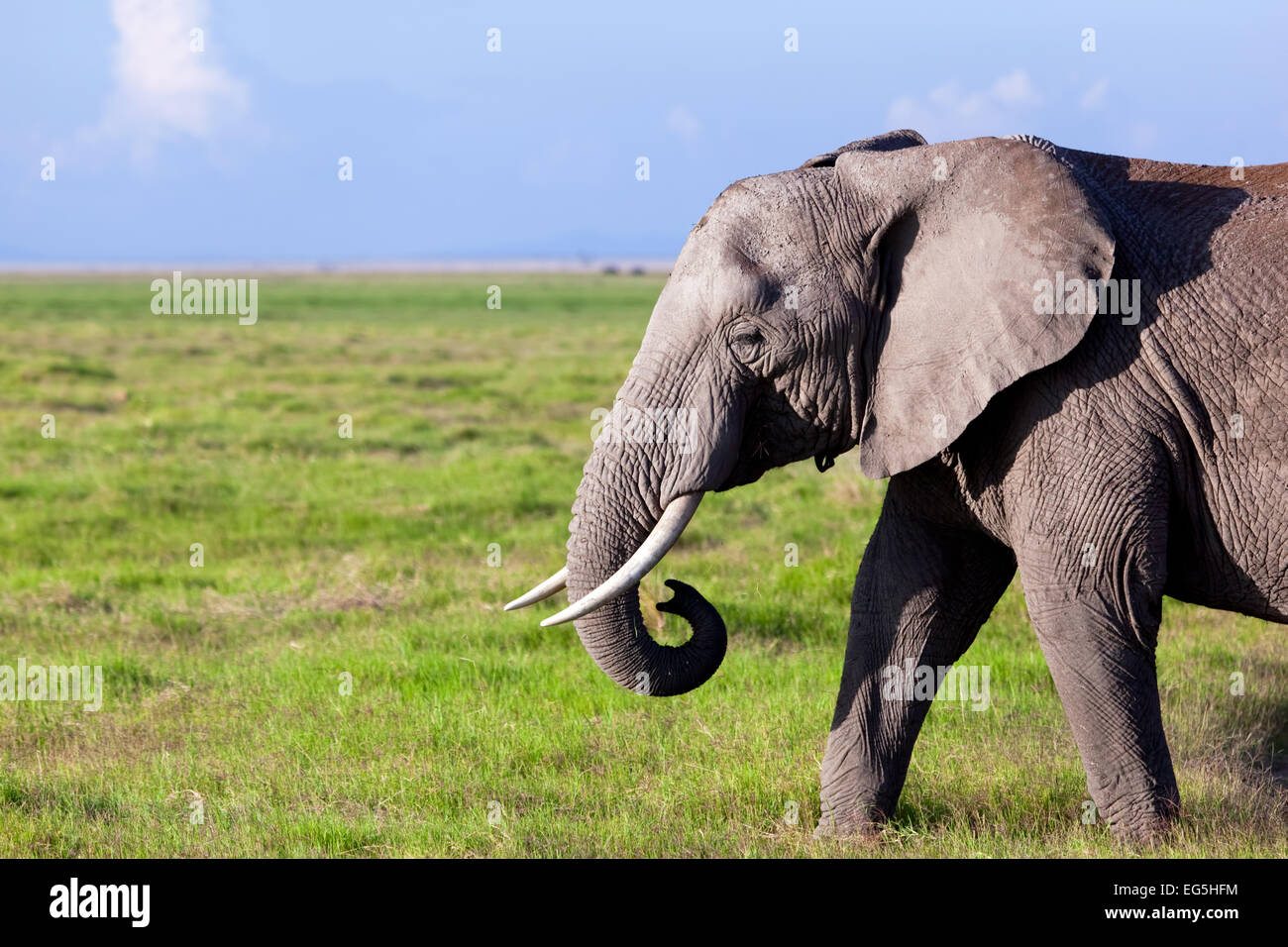 Elephant portrait on African savanna. Safari in Amboseli, Kenya, Africa - Stock Image