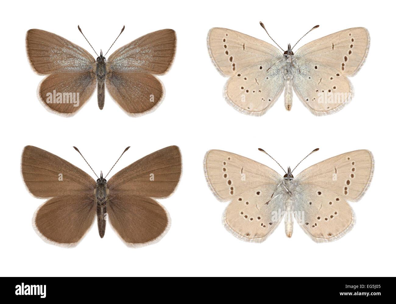 Small Blue - Cupido minimus - male (top row) - female (bottom row) - Stock Image