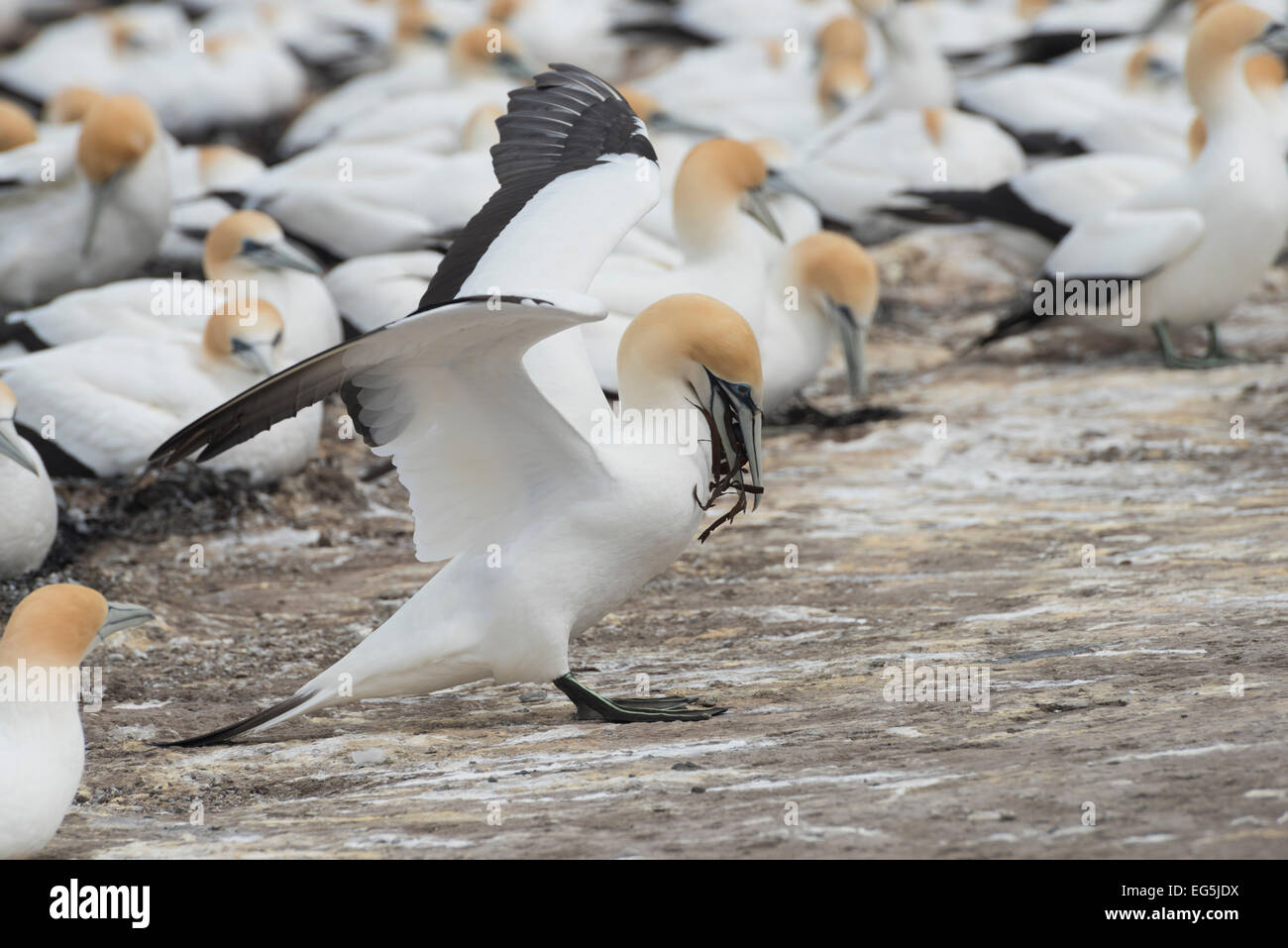 Kolonie von Austral Tölpel, colony of Australian Gannet, Lighthouse Colony, Cape Kidnappers, Neuseeland newzealand - Stock Image