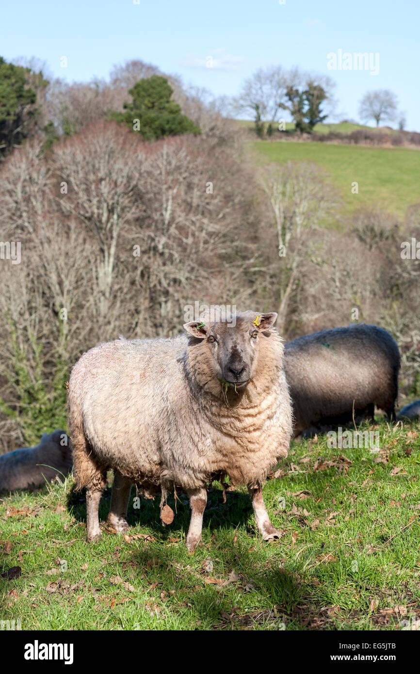 hill farming,sheep, sheep, farming fields, group of animals, sheep farm, mammal, lamb, farmland, farming icons, - Stock Image