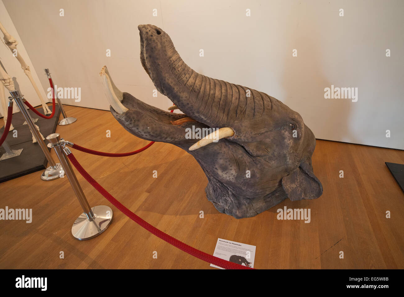 Platybelodon in the Natural History Museum Rotterdam, Holland, Netherlands. - Stock Image