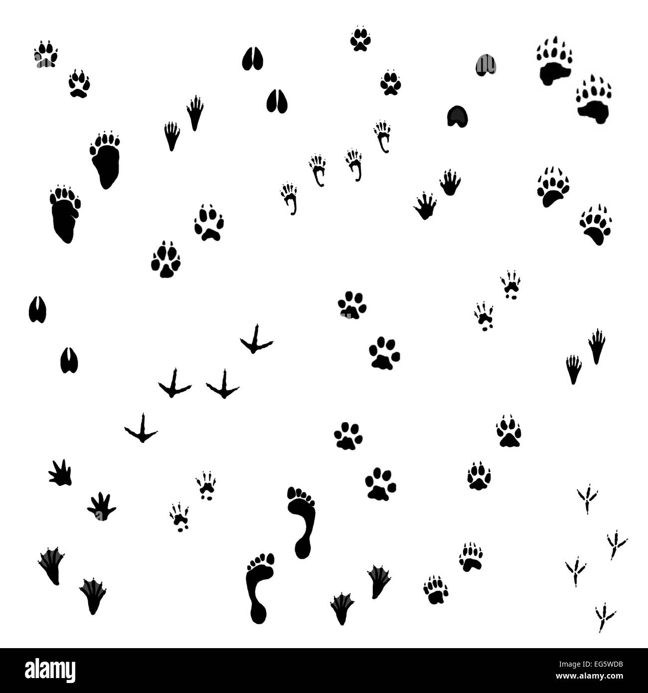 Animal tracks on white background - Stock Image