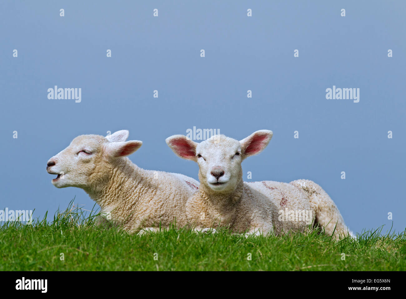 Domestic sheep (Ovis aries), two white lambs lying in meadow in spring - Stock Image