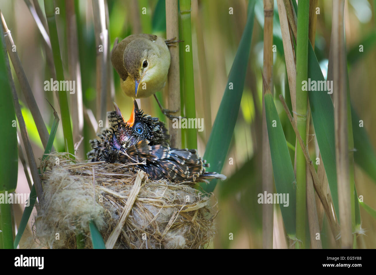 Reed warbler (Acrocephalus scirpaceus) feeding 12 day chick of European cuckoo (Cuculus canorus) in its nest, East - Stock Image