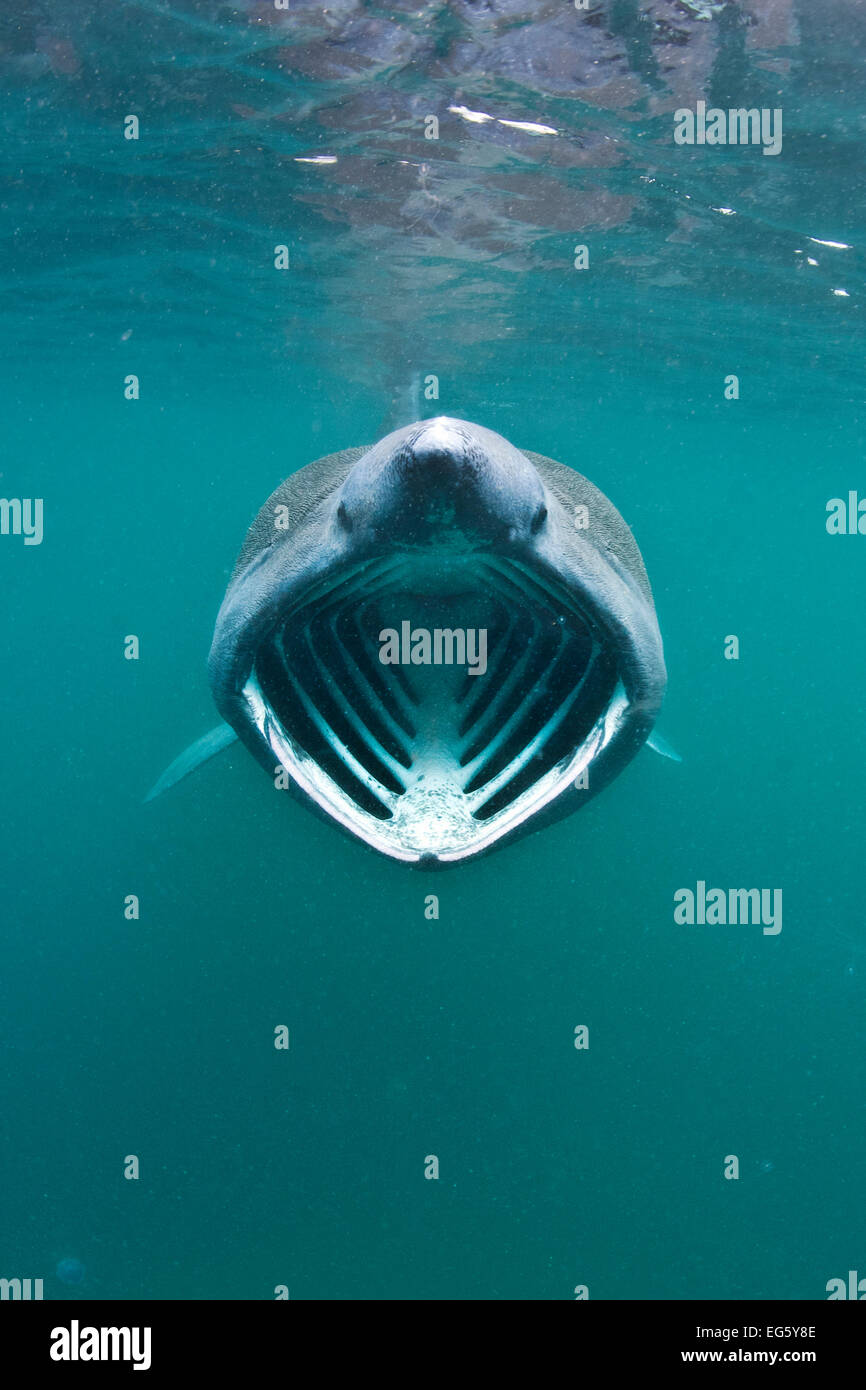 Basking shark (Cetorhinus maximus) with mouth wide open feeding on plankton concentrated in surface waters close - Stock Image