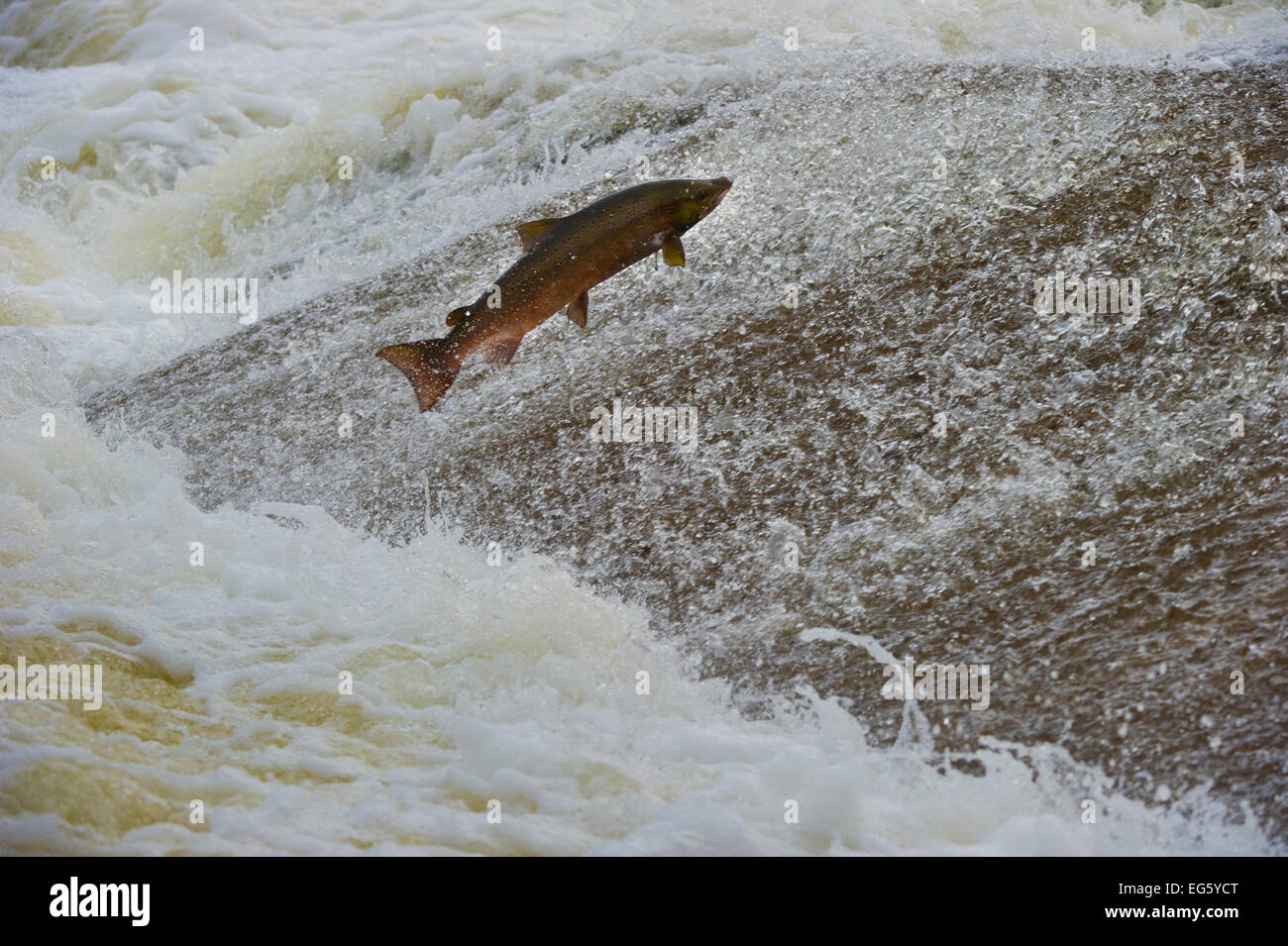 Atlantic salmon (Salmo salar) leaping up the cauld at Philphaugh Salmon Viewing Centre near Selkirk, where members - Stock Image