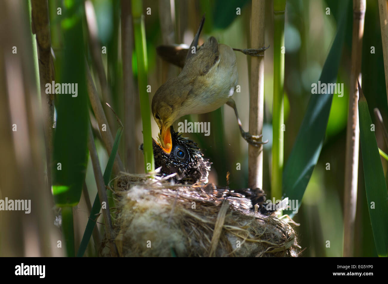 Cuckoo (Cuculus canorus) 12 day chick in Reed Warbler nest (Acrocephalus scirpaceus) fed by Reed warbler, Fenland, - Stock Image