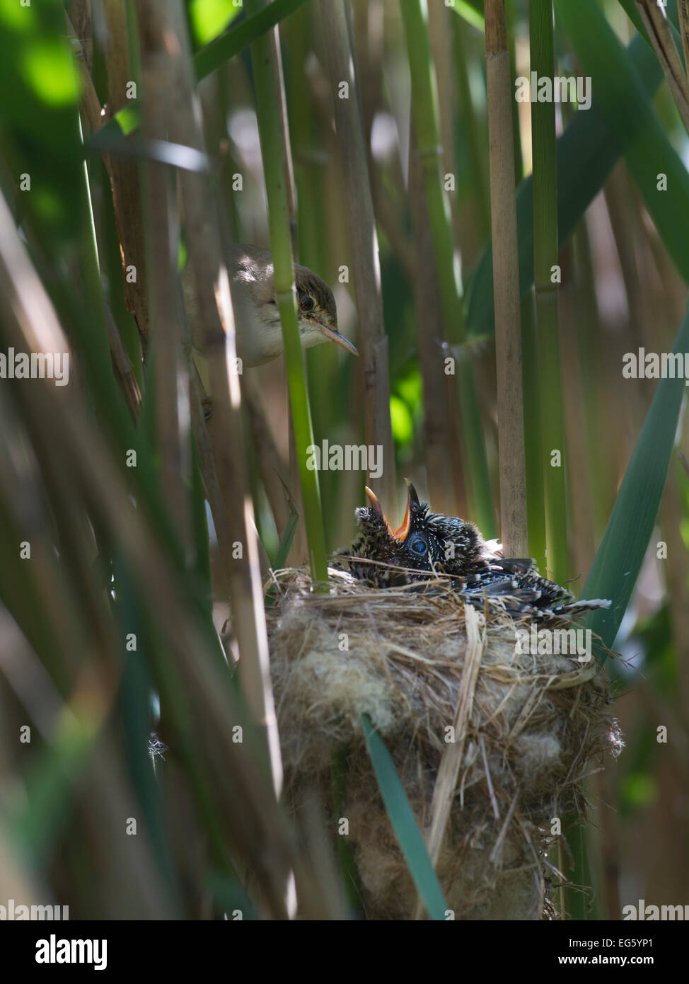 Reed Warbler (Acrocephalus scirpaceus) at nest feeding 12 day Cuckoo chick (Cuculus canorus), Fenland, Norfolk, - Stock Image