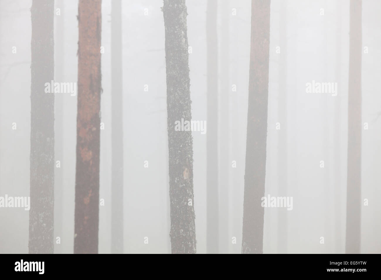 Scots Pine (Pinus sylvestris), tree trunks in coniferous forest in the mist - Stock Image
