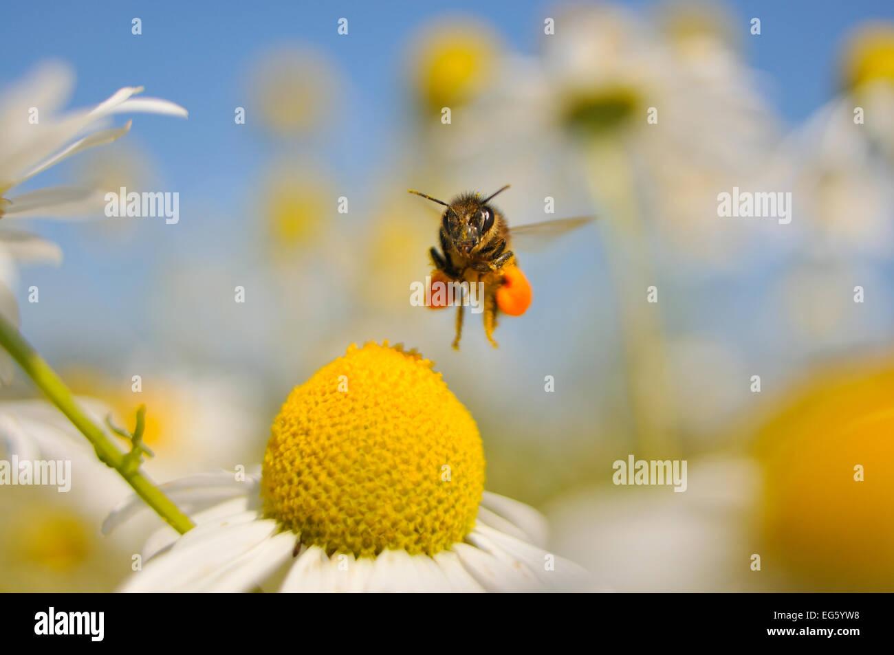European Honey Bee (Apis mellifera) with pollen sacs flying towards a Scentless mayweed (Tripleurospermum inodorum) - Stock Image