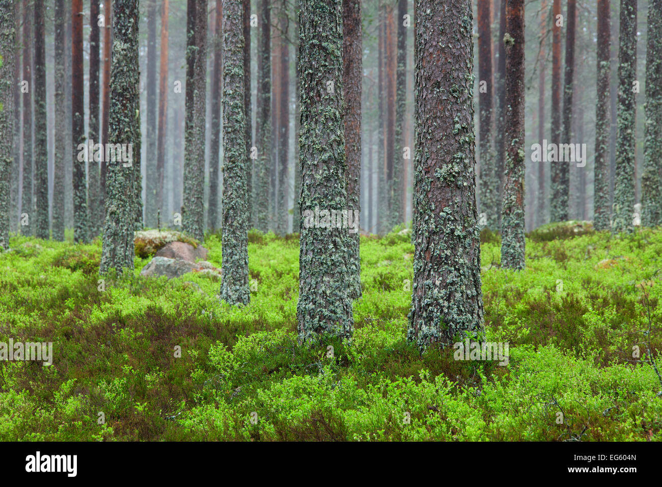 Scots Pine (Pinus sylvestris), tree trunks covered in tube lichen (Hypogymnia physodes / Parmelia physodes) in coniferous - Stock Image