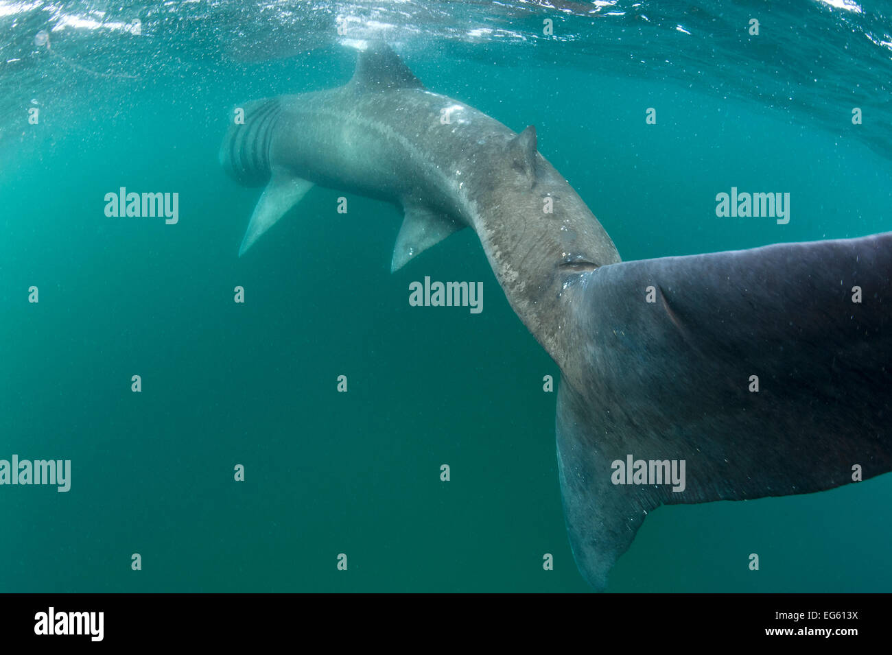 Rear view of Basking shark (Cetorhinus maximus) feeding on plankton, visible as white dots, in the surface waters - Stock Image