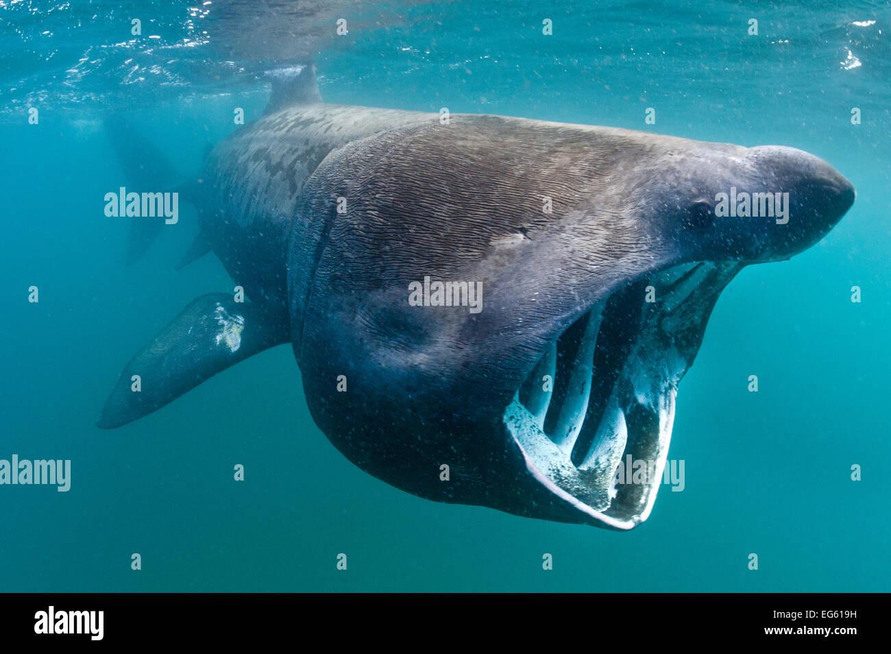 Basking shark (Cetorhinus maximus) feeding in open water, Cornwall, England, UK, June - Stock Image