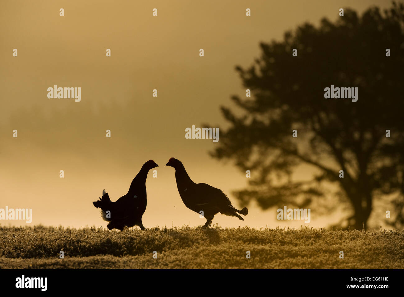 Silhouette of two male Black grouse (Tetrao tetrix) displaying at lek at dawn, Cairngorms NP, Grampian, Scotland, - Stock Image