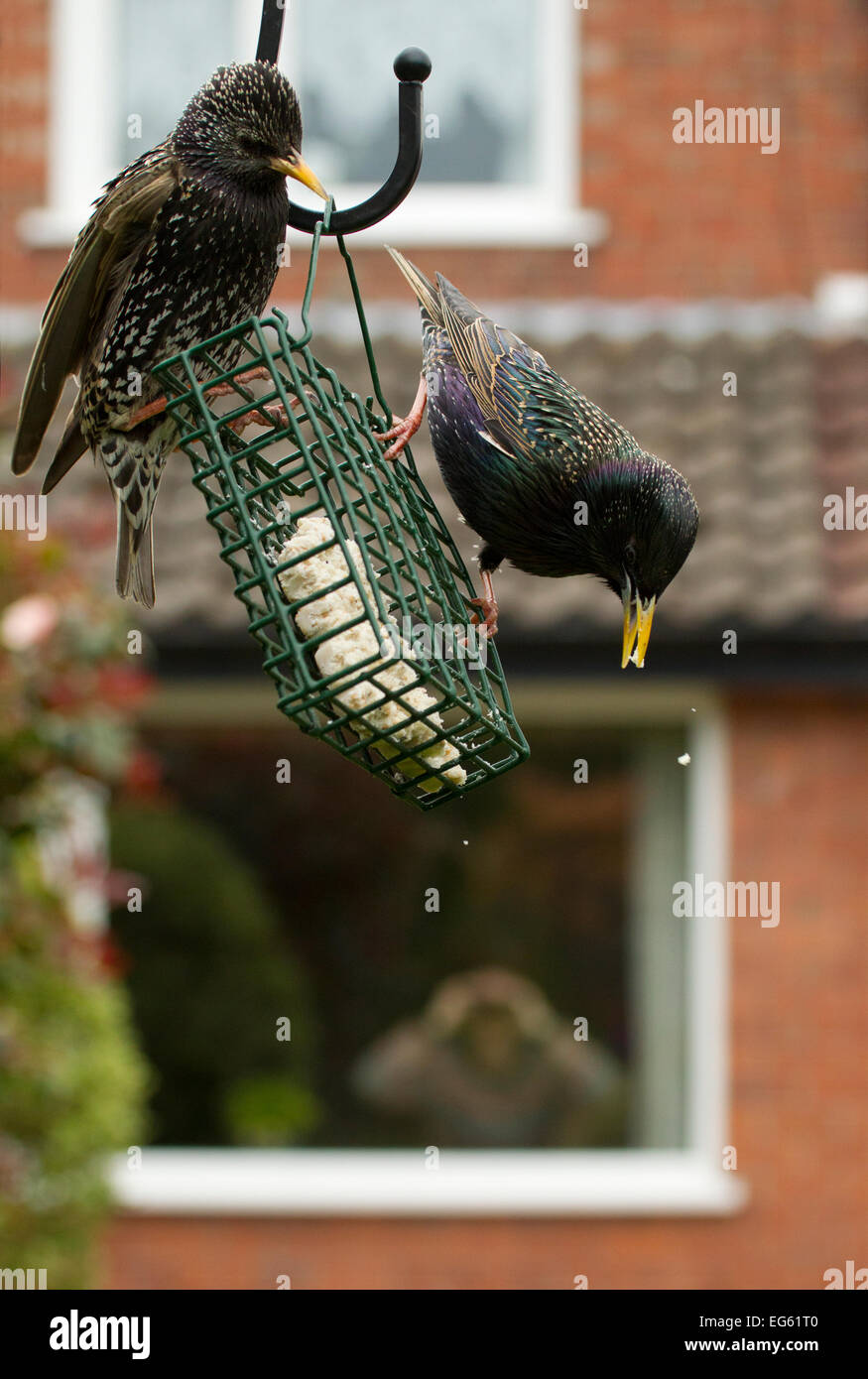 Common starling (Sturnus vulgaris) on bird feeder with man in background watching through house window with binoculars, - Stock Image