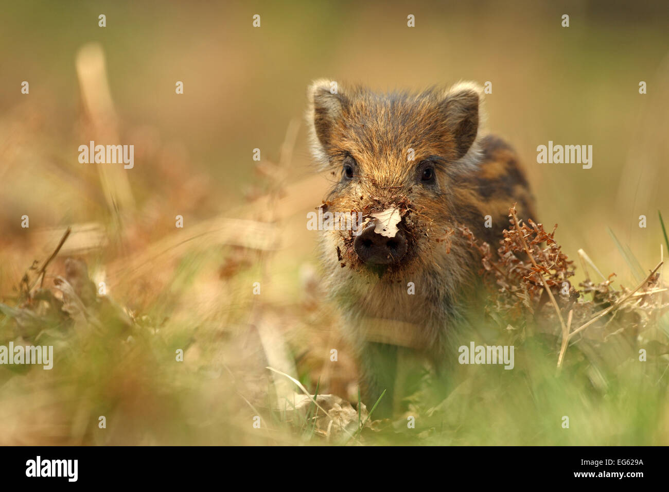 Wild boar piglet (Sus scrofa) with leaf stuck on its nose, Forest of Dean, Gloucestershire, England, UK, April. - Stock Image
