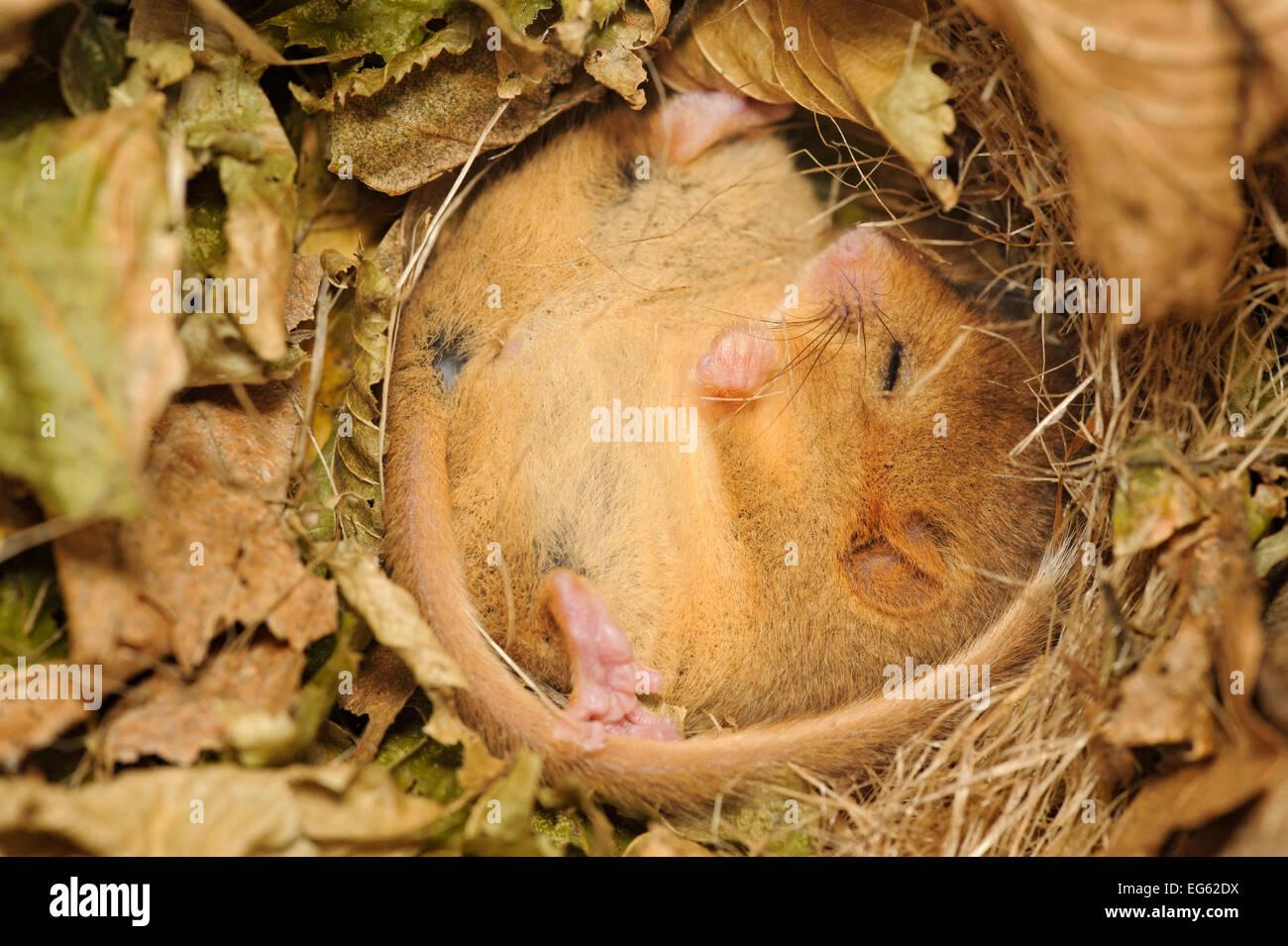 Hazel dormouse (Muscardinus avellanarius), Kent, UK. Members of Kent Mammal Group conduct monthly dormouse survey, - Stock Image