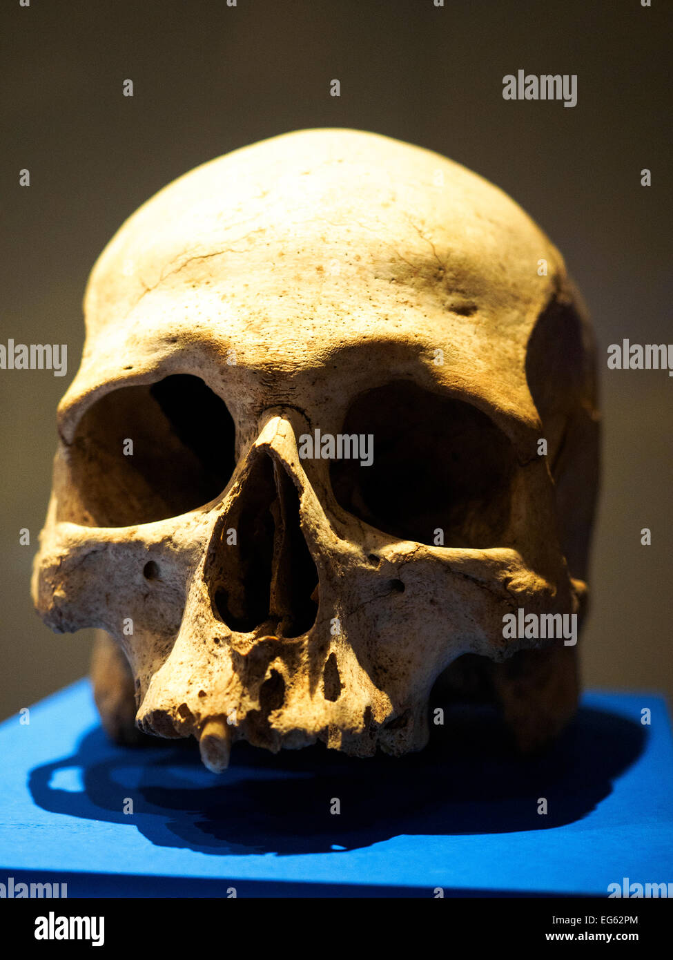 Human skull from Hal Saflieni Hypogeum  - National Museum of Archaeology -  Valletta, Malta - Stock Image