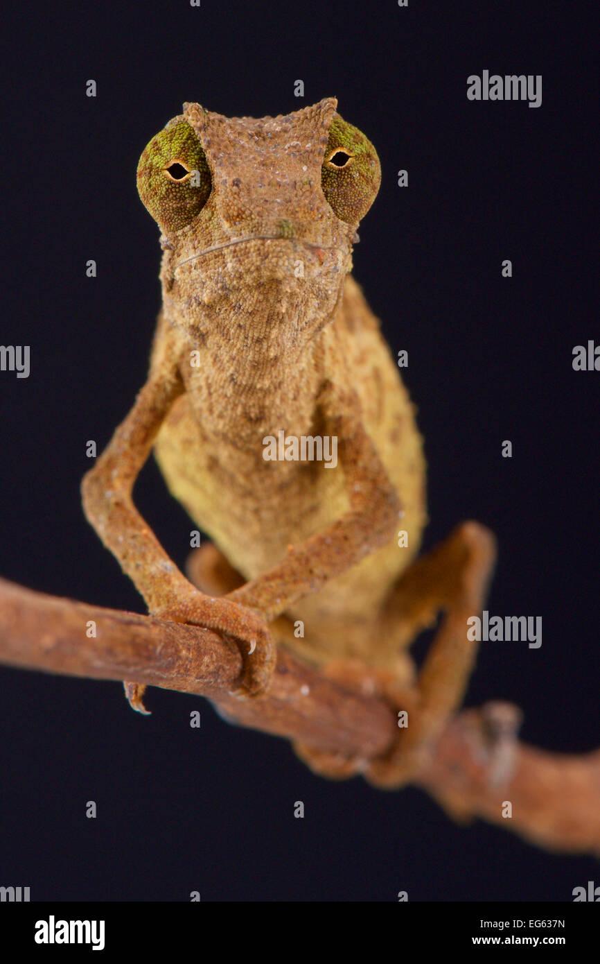 Pygmy chameleon / Rieppeleon brevicaudatus - Stock Image