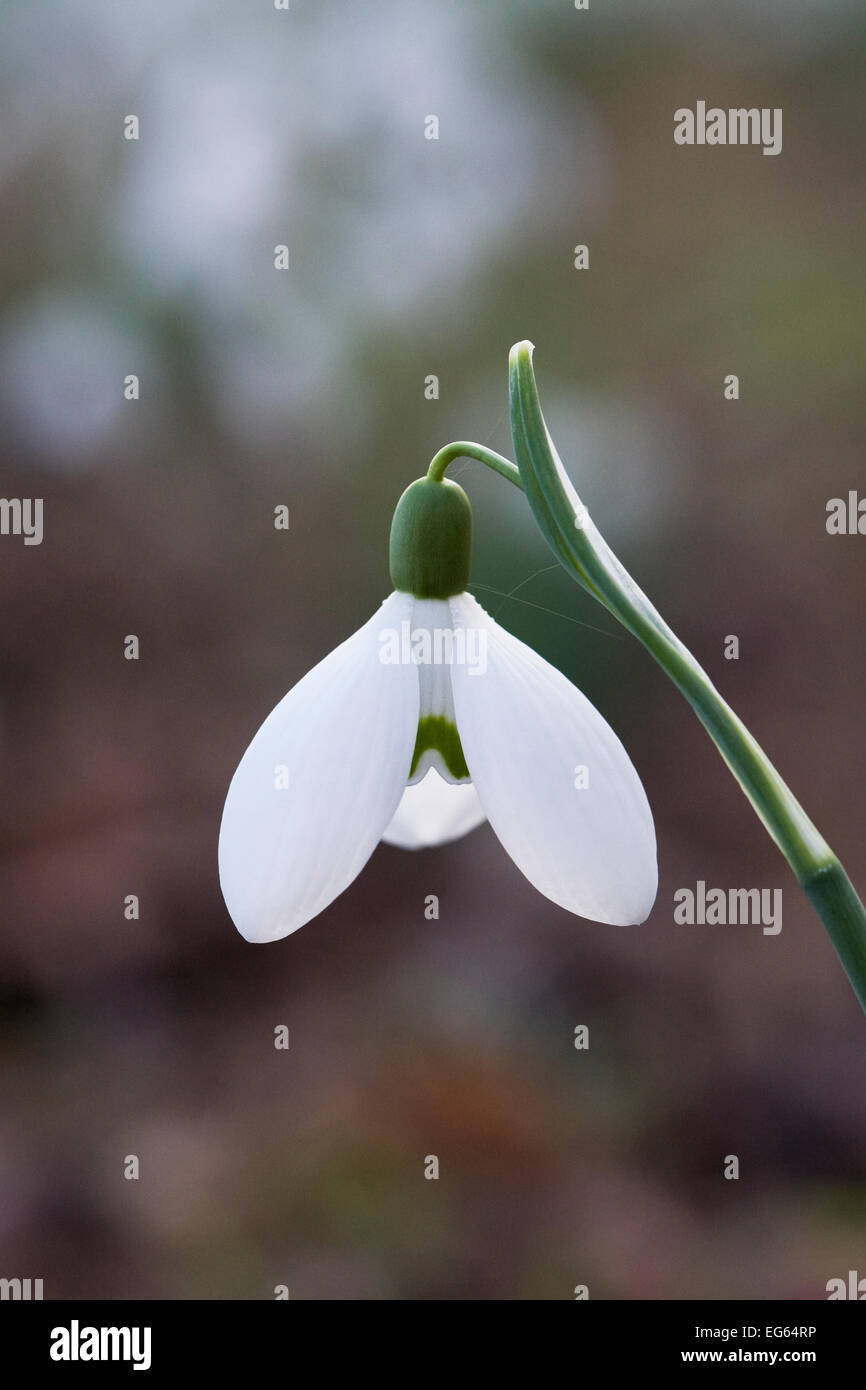 Galanthus Brenda Troyle. Species snowdrop growing in a woodland garden. - Stock Image
