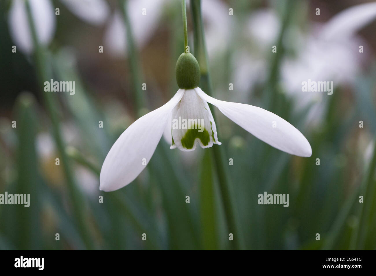 Galanthus Magnet. Species snowdrop growing in a woodland garden. - Stock Image