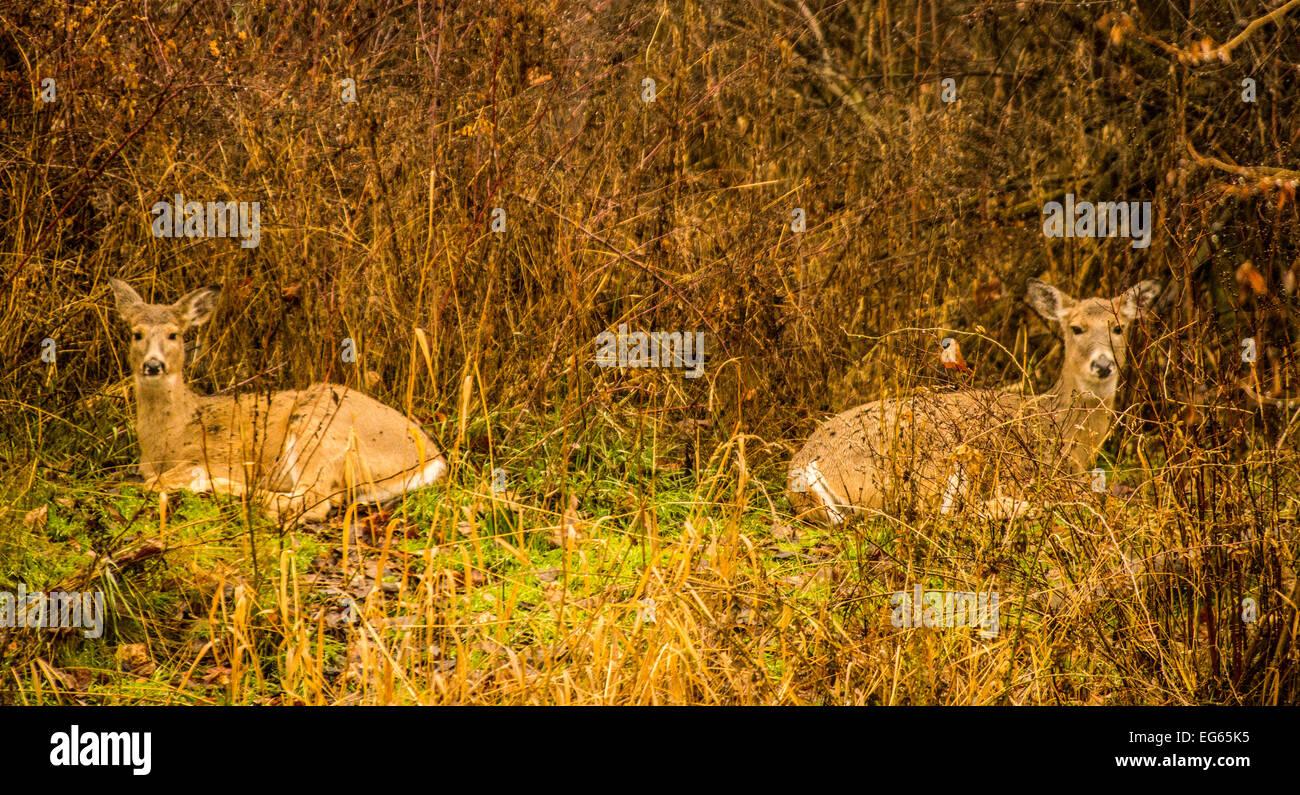 Mule Deer in backyard of a a home. Boise, Idaho, USA - Stock Image