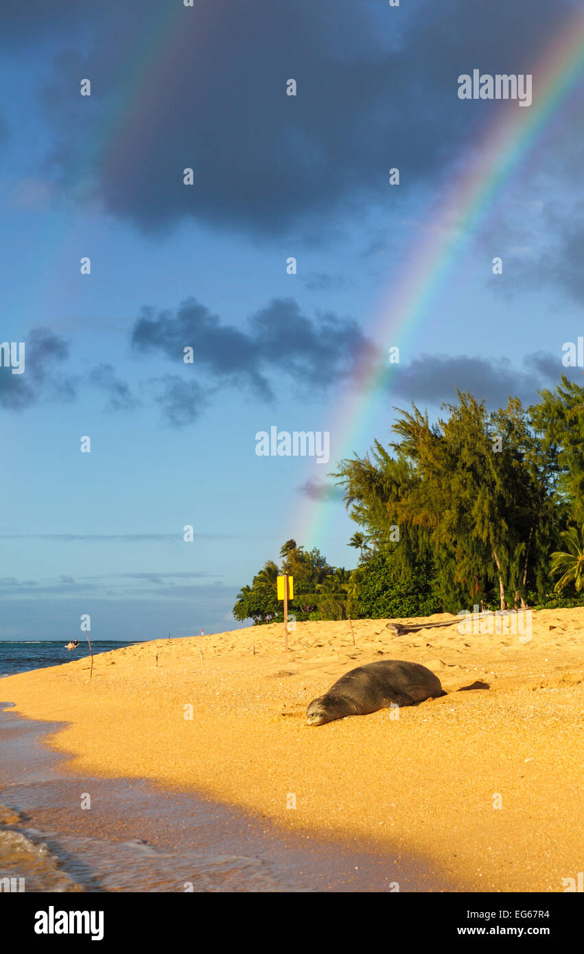 Hawaiian monk seal by Tunnels Beach on Kauai with double rainbows - Stock Image