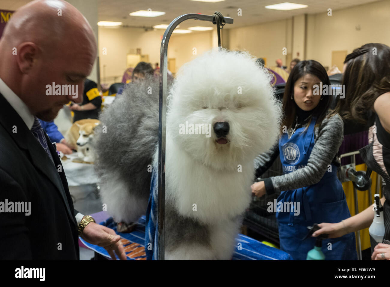 New York, NY, USA. 16th Feb, 2015. Old English sheep dog Swagger getting finishing touches by groomers prior to his entrance in the herding group competition at the Westminster Kennel Club Dog Show. Swagger, registered as Bugaboo's Picture Perfect, took first place in the group. Credit:  Ed Lefkowicz/Alamy Live News Stock Photo