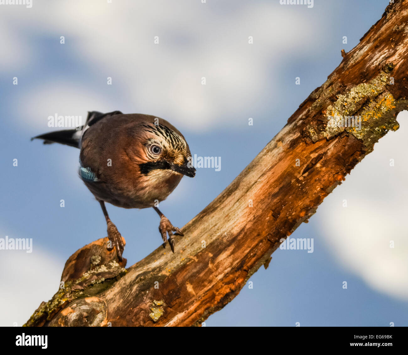 Jay bird (Garrulus glandarius) on a twig with curious look. - Stock Image