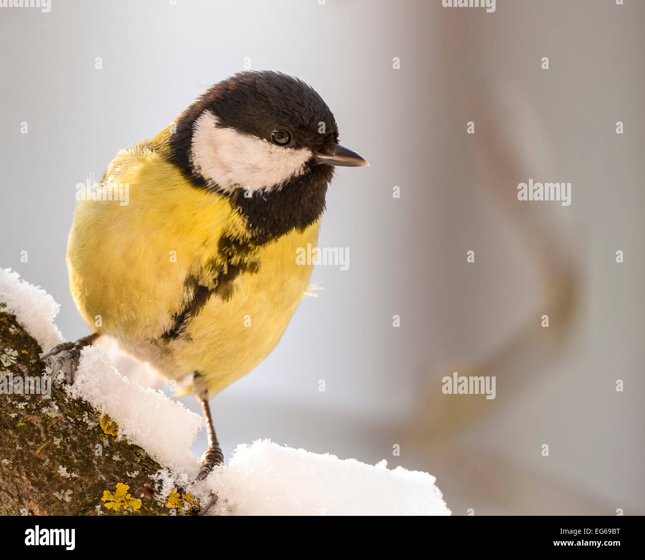 Great tit (parus major) sitting curiously on a snowy trunk. Stock Photo