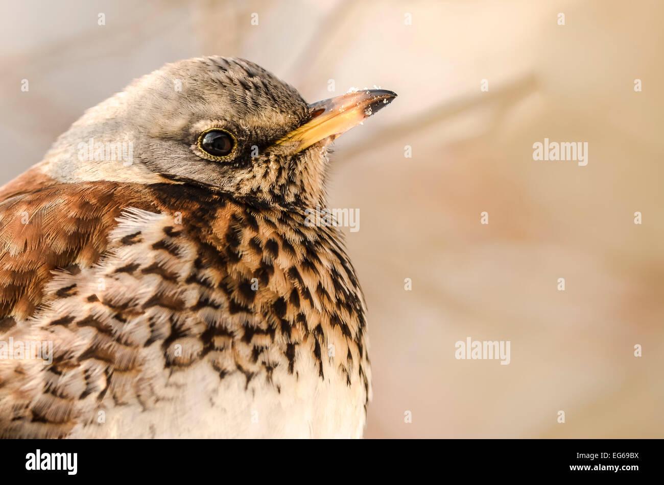 Fieldfare (turdus pilaris) closeup portrait. Stock Photo