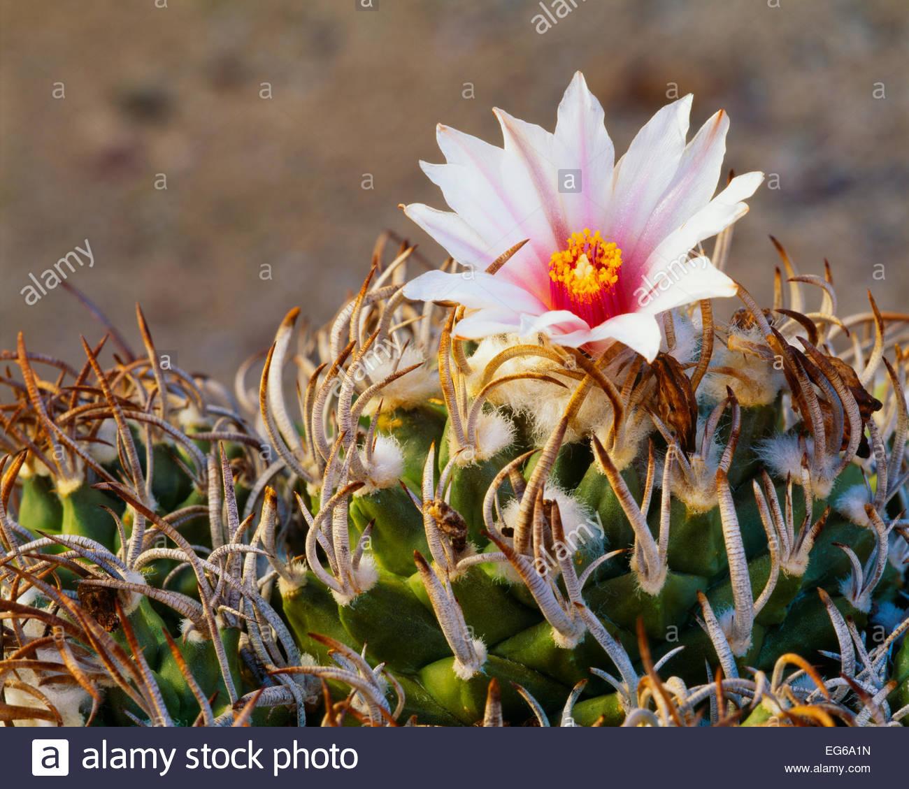 [Turbinicarpus schmiedickeanus var. schmiedickinus].  Very rare in the wild.  Chihuahuan Desert.  Tamaulipas State, Stock Photo