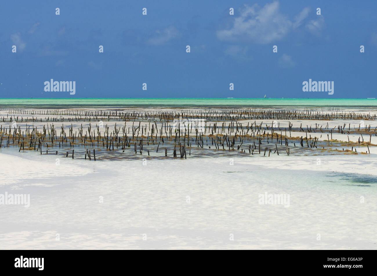 Seaweed farming in Zanzibar - Stock Image