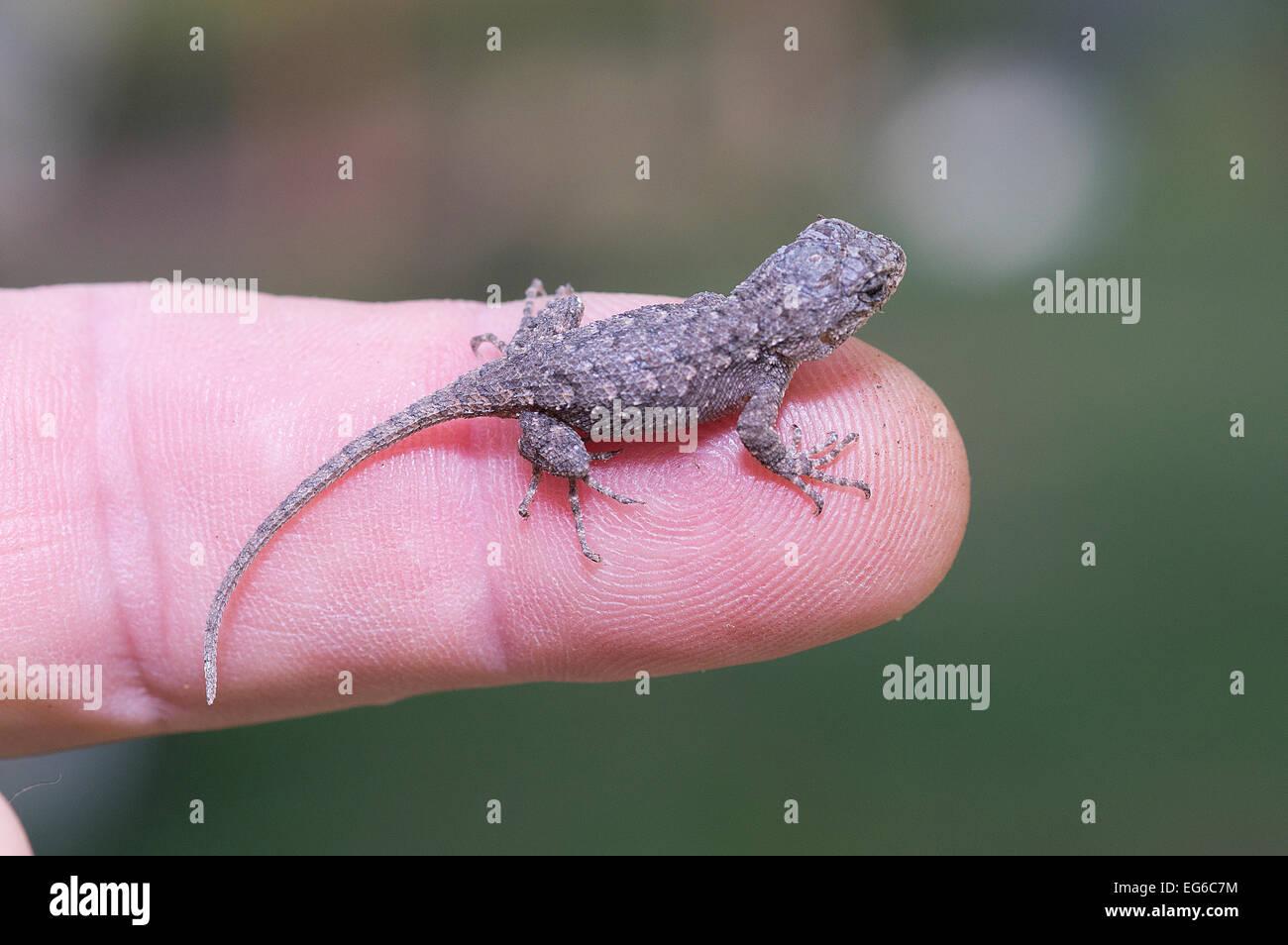 Eastern Fence Lizard Sceloporus Undulatus Hatchling Setting On