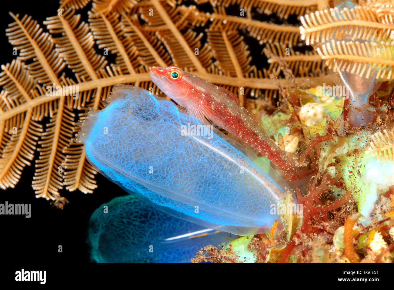 Many Host, or Ghost or Toothy Goby, Pleurosicya mossambica, resting on an ascidian, or tunicate, Rhopalaea sp.Tulamben, - Stock Image