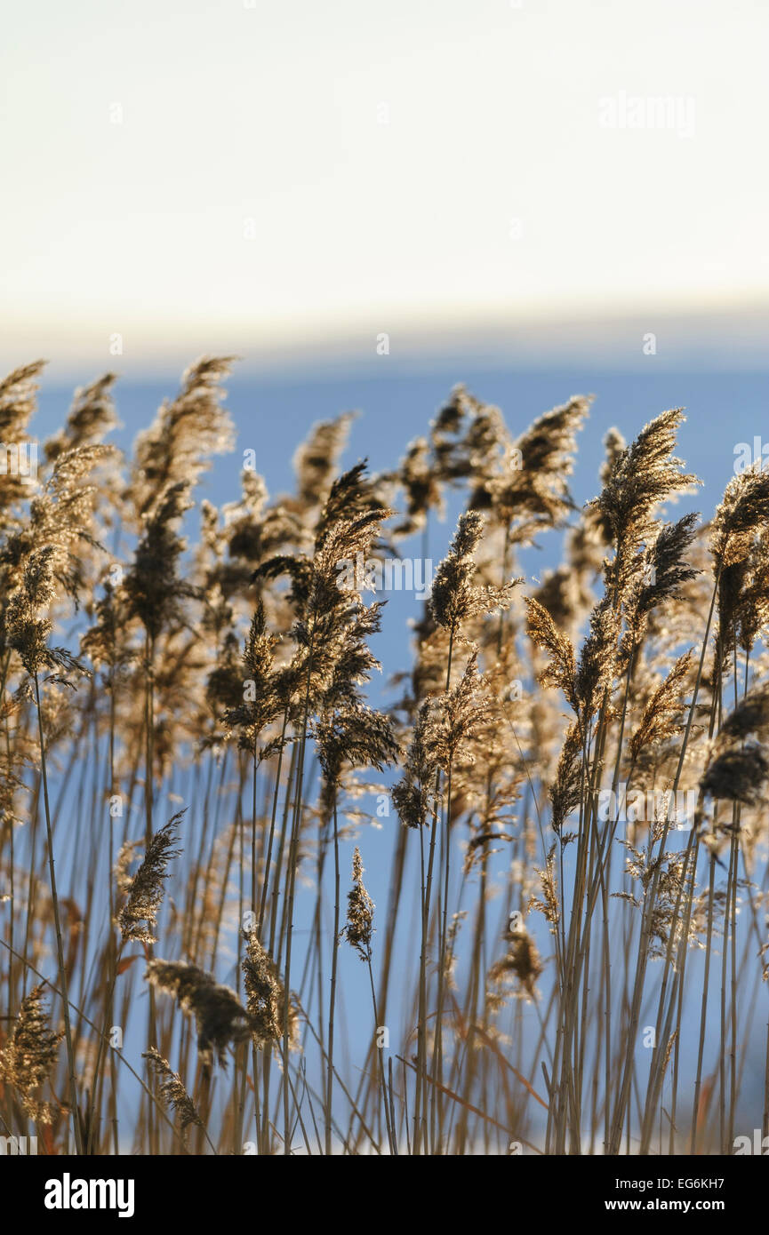 Reed closeup in sunset, sunshine, backlight Stock Photo