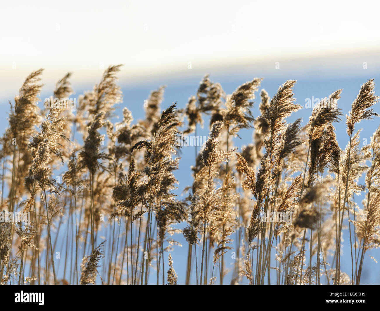 Reed  in sunset, shine, sunbeam, backlight Stock Photo