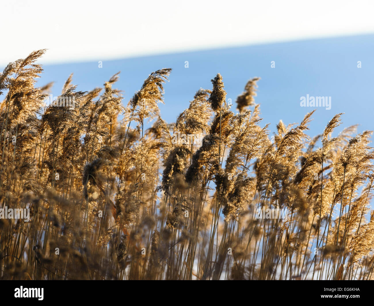Reeds  in sunset, backlight Stock Photo