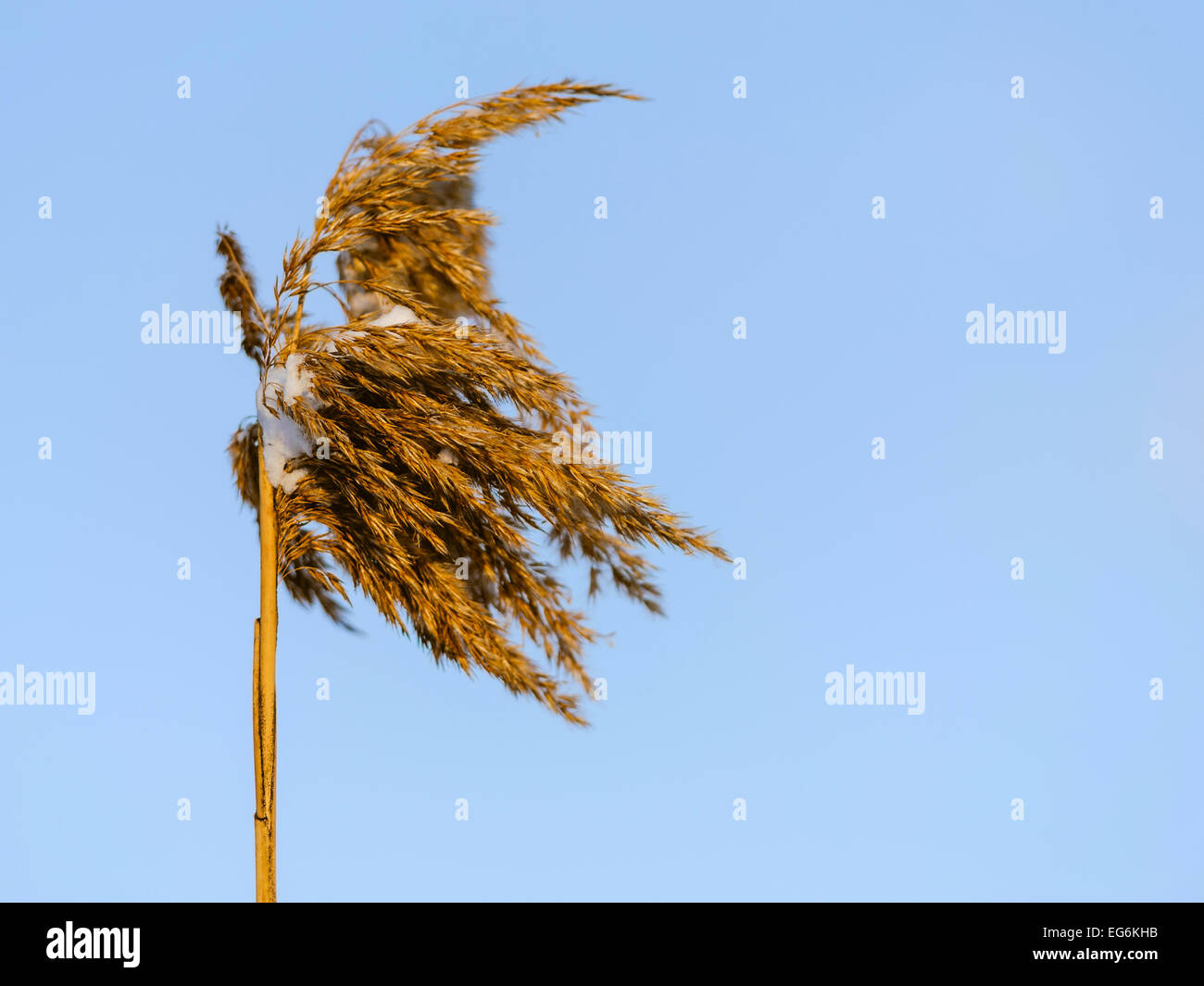 Reed closeup in sunset, snowy, blue sky in background. Stock Photo