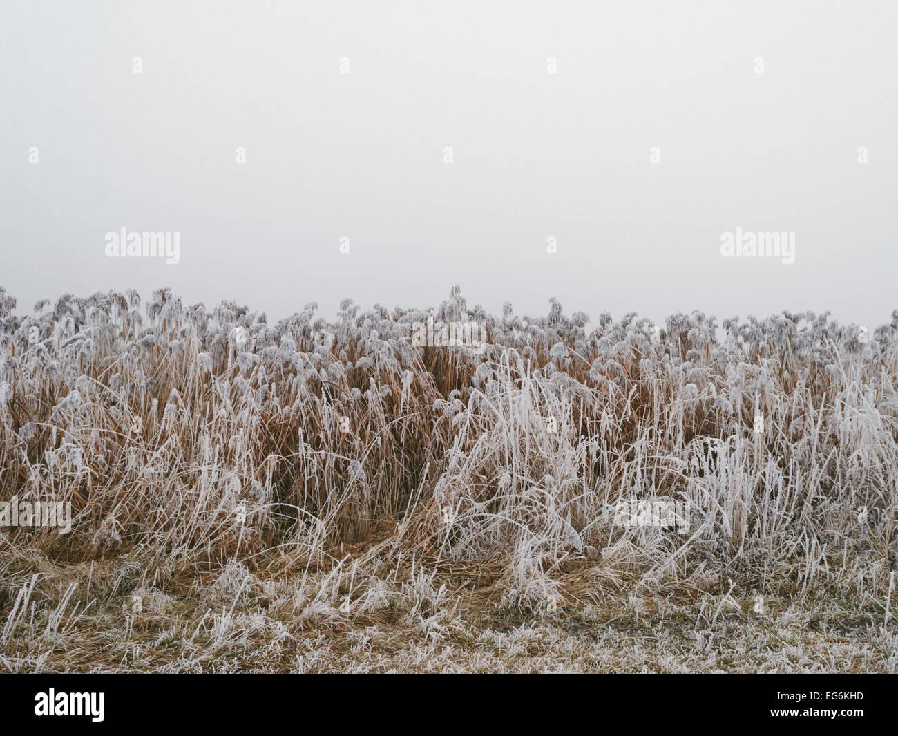 Frozen reed in foggy winter. Stock Photo