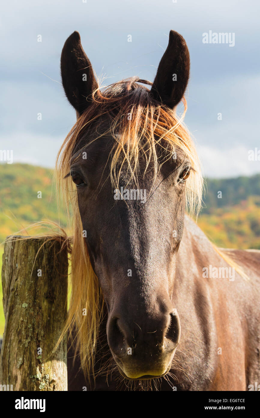 Brown horse (Equus ferus caballus).Portrait.  Flies surround its head. - Stock Image