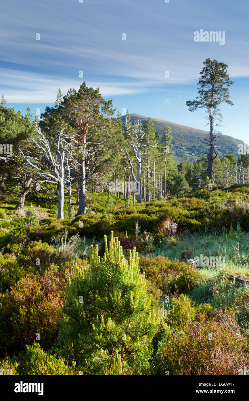 The Glenmore Caledonian forest in autumn. - Stock Image