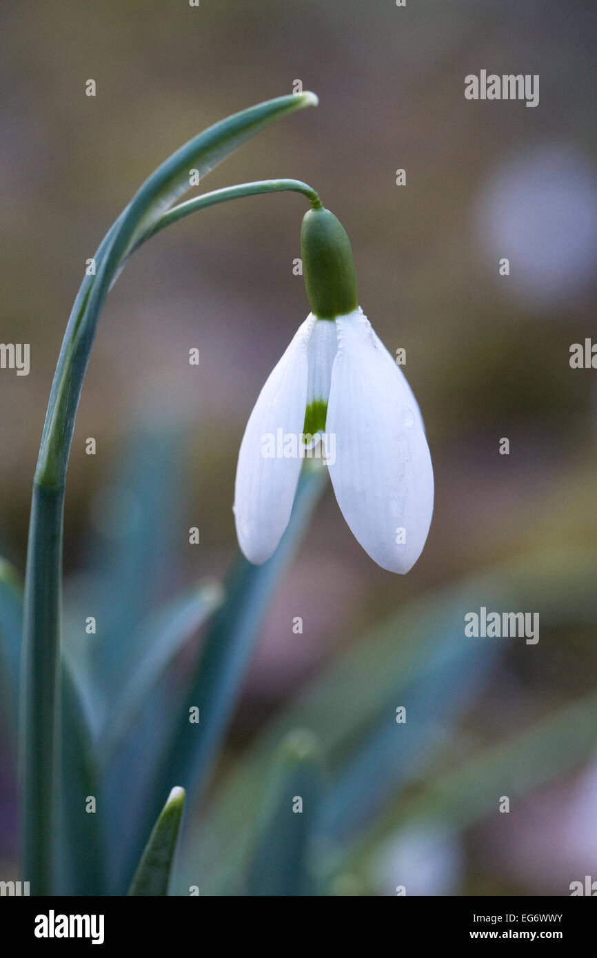 Galanthus Galatea. Species snowdrop growing in a woodland garden. - Stock Image