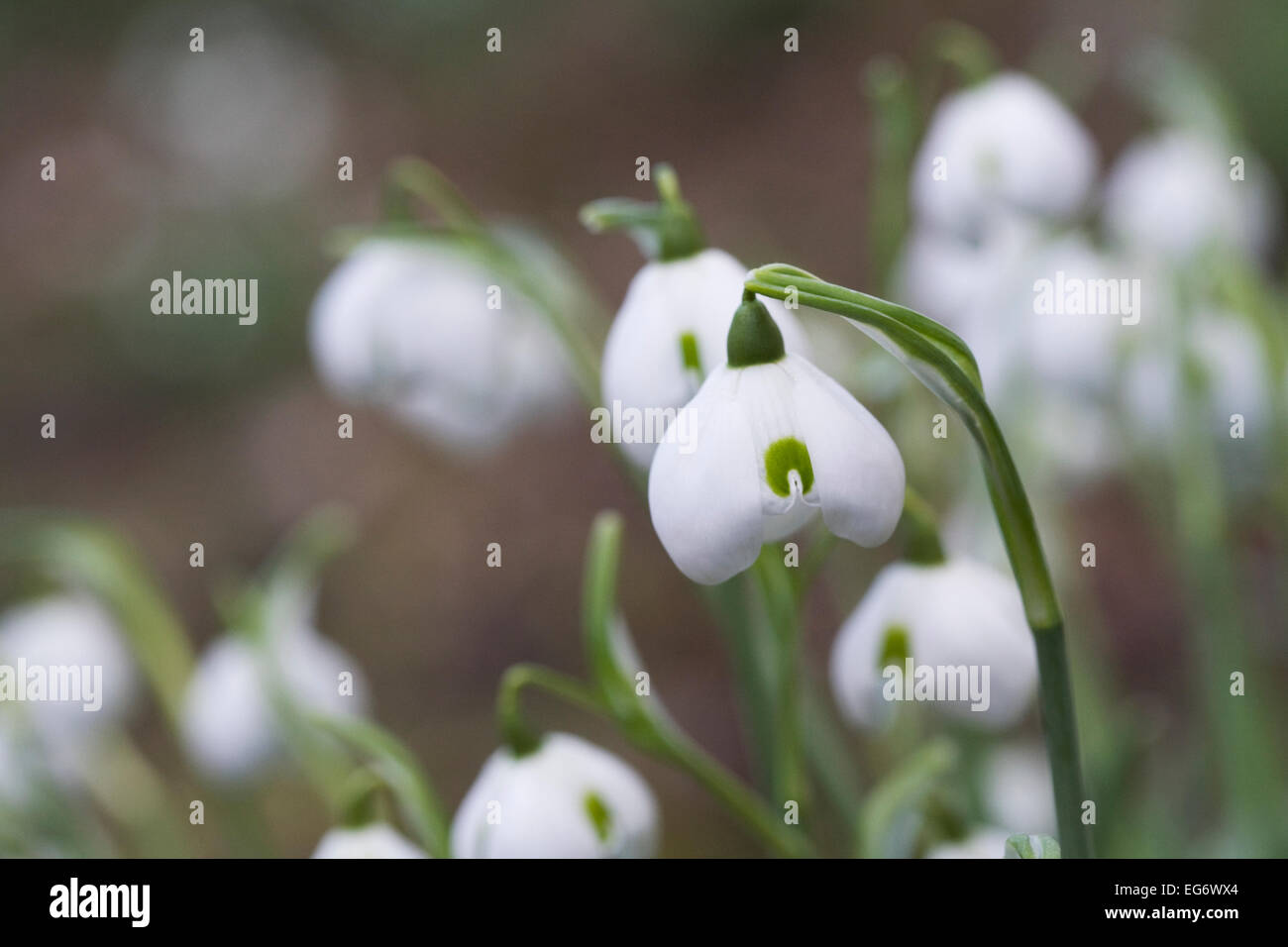 Galanthus Hippolyta. Species snowdrop growing in a woodland garden. - Stock Image